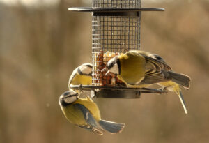 Vögel am Futterhaus - Meisen