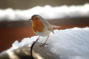 Vögel am Futterhaus - Rotkehlchen