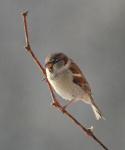Vögel am Futterhaus - Haussperling