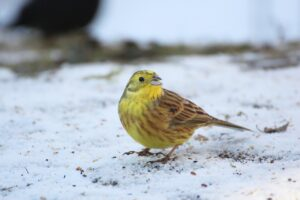 Goldammer - Vögel am Futterhaus