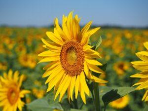 Sonnenblumenkerne kaufen